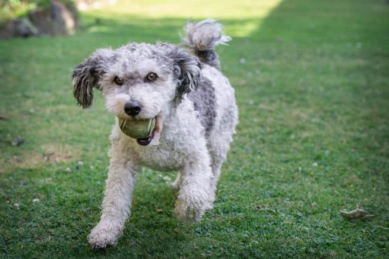 a curly Jackie Bichon running while biting on a tennis ball