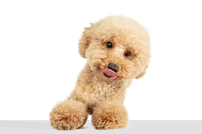 a cute brown Maltipoo sitting and licking its face