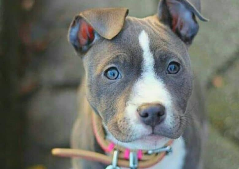 a wide eye Pitbull puppy with floppy ears