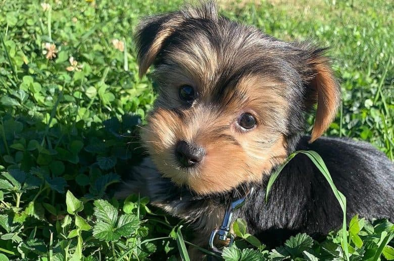 a Teacup Yorkie looking up while hiding on the tall grass