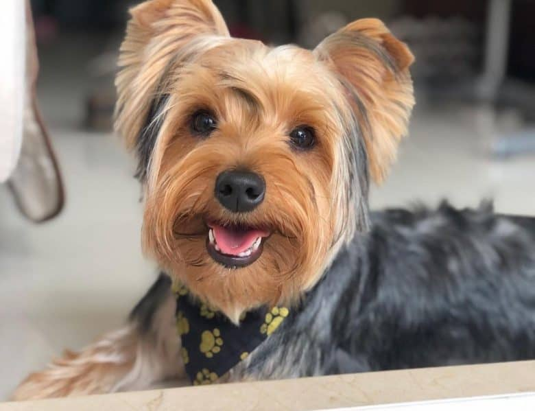 a Yorkie puppy smiling happily after his bath
