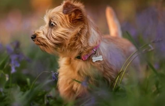 a Norfolk Terrier looking to the right