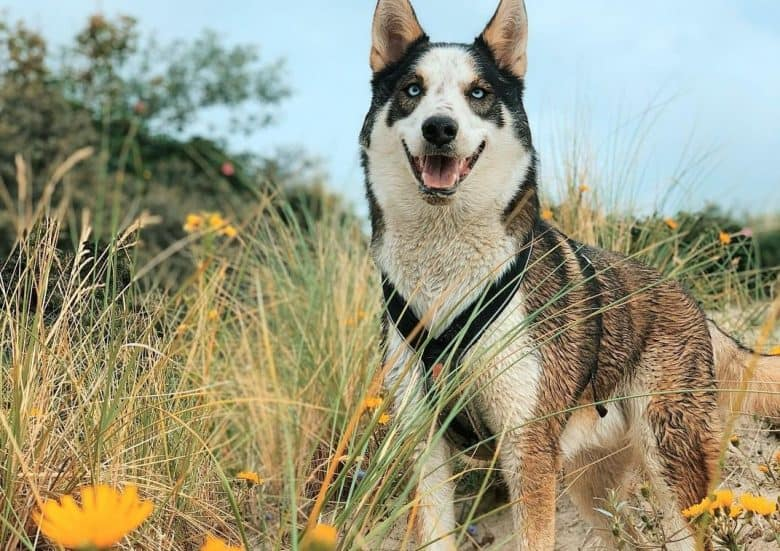 An Alaskan Husky smiling while standing with beautiful yellow flowers