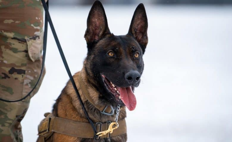 a GSD sitting on snow during training