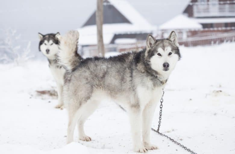 Two Siberian Husky standing on snow
