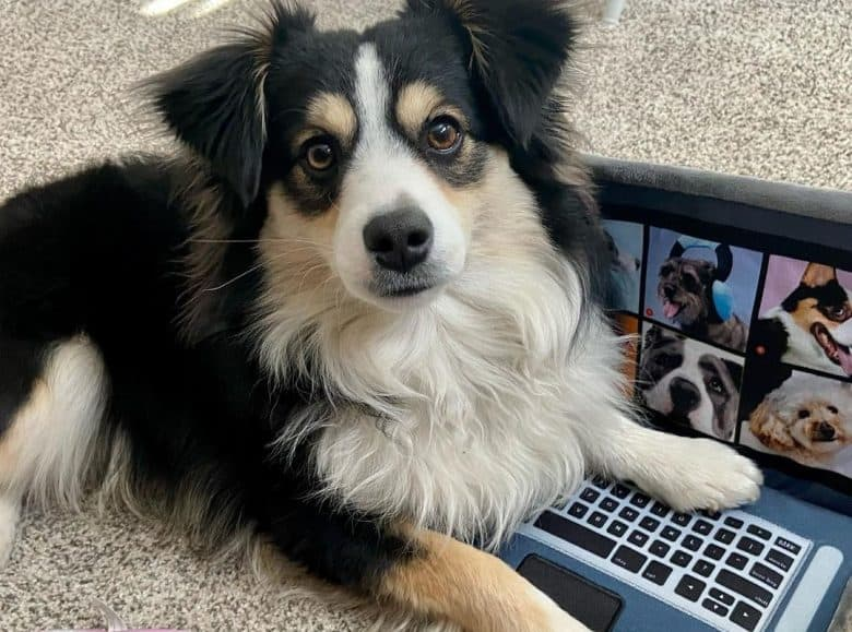 a tri-color Aussie puppy with his toy laptop