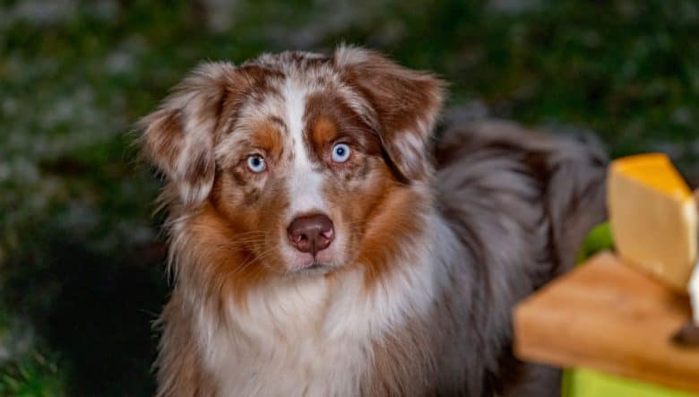 An Australian Shepherd dog looking at the food in the table