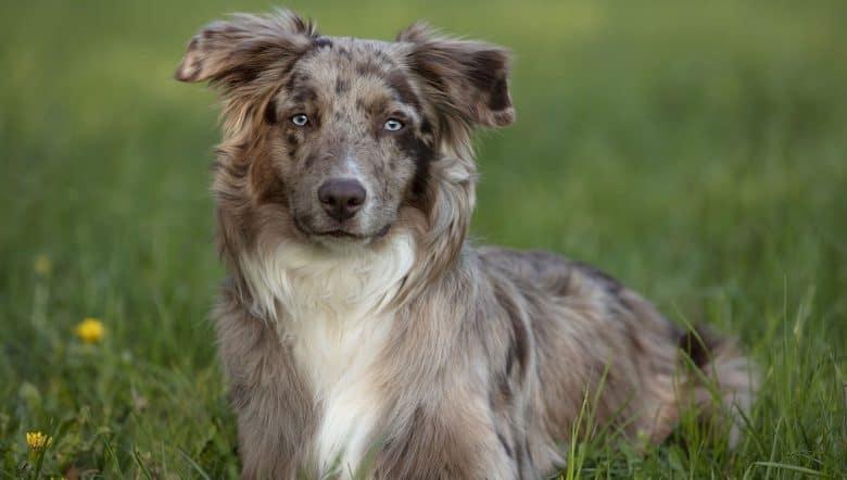 An Australian Shepherd dog lying on the meadow
