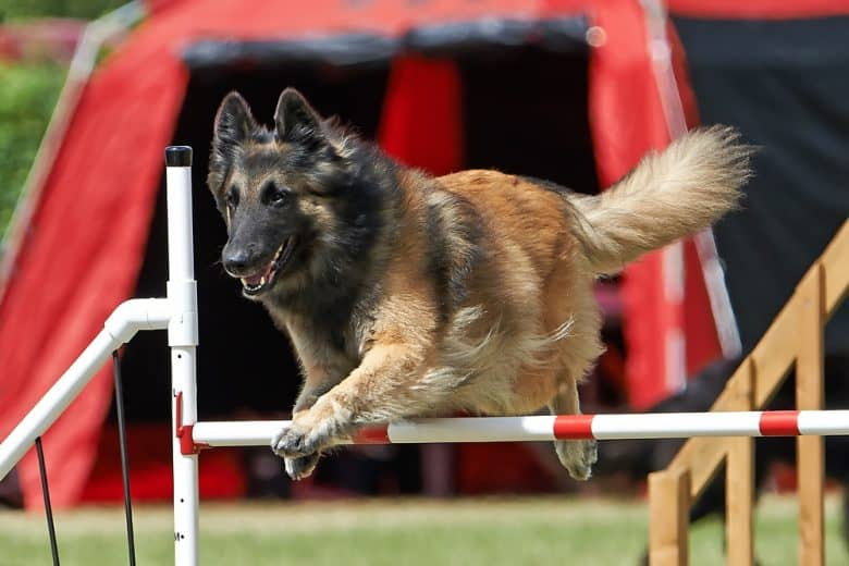 a Belgian Tervuren confidently leaping on poles