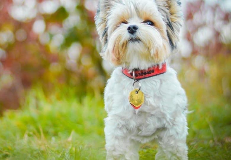a Biewer Terrier wearing a red collar standing on the grass
