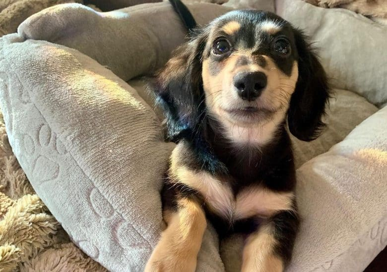 a Black and Cream Dachshund puppy laying on the dog bed