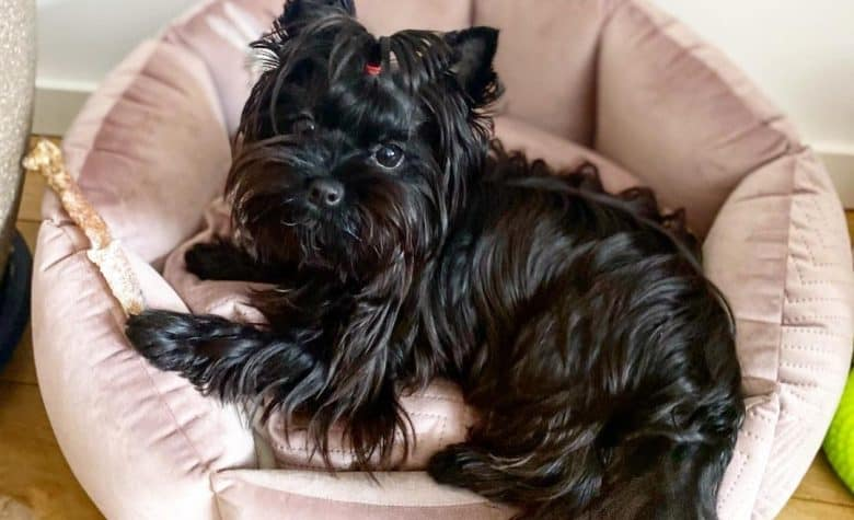 a shiny black Yorkshire Terrier on a soft dog bed