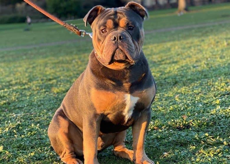 Blue and tan Olde English Bulldogge