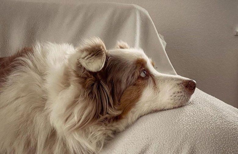 Bored Red Merle Australian Shepherd dog