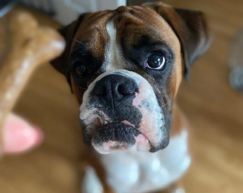a Boxer sitting and waiting for his treats
