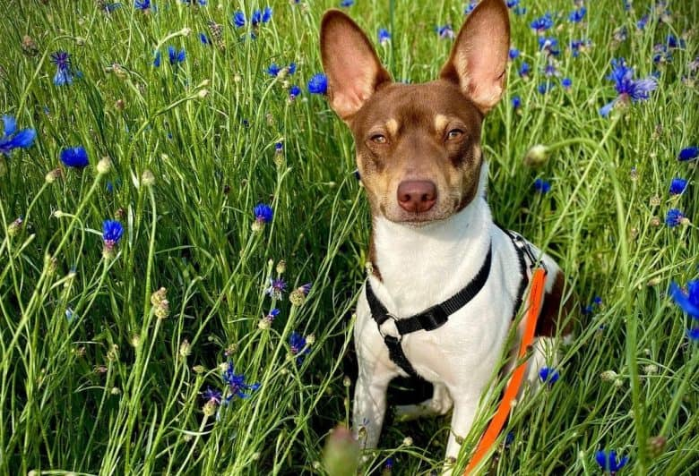 a Rat Terrier sitting in the middle of tall grasses with Blue flowers