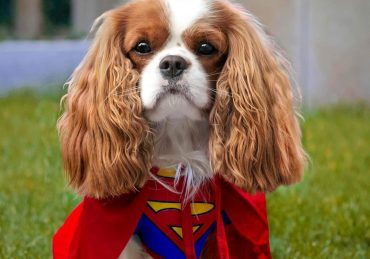 a handsome Cavalier wearing a superman costume