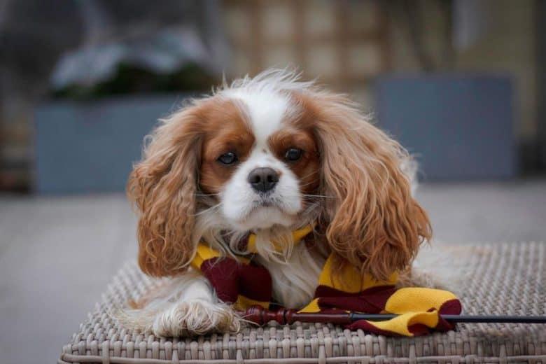 A Cavalier King Charles Spaniel wearing a Gryffindor scarf