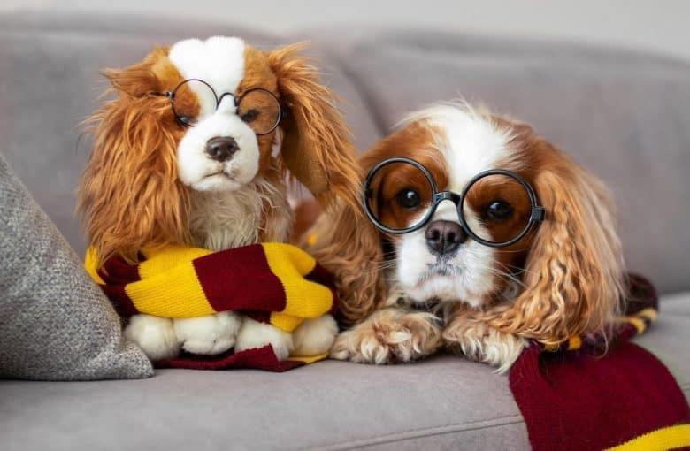 A Cavalier puppy wearing a Gryffindor scarf