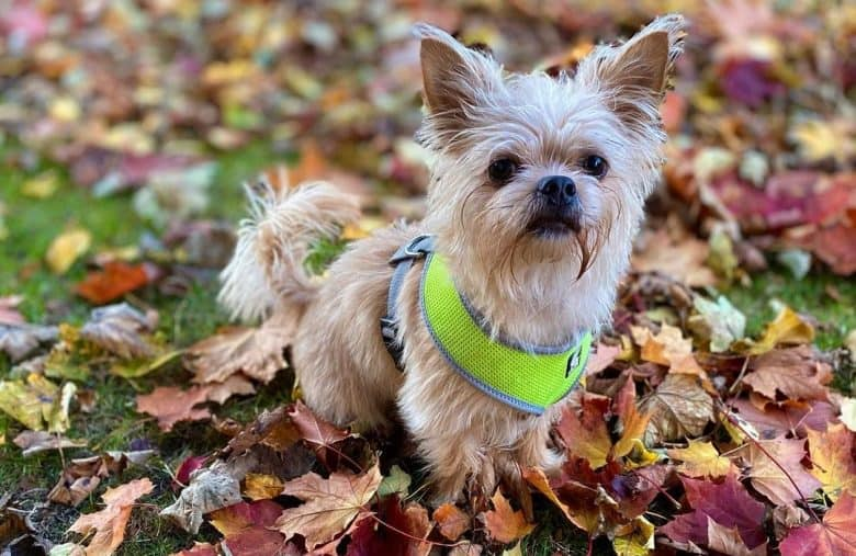 a Chi Apso enjoying and sitting on the dried leaves