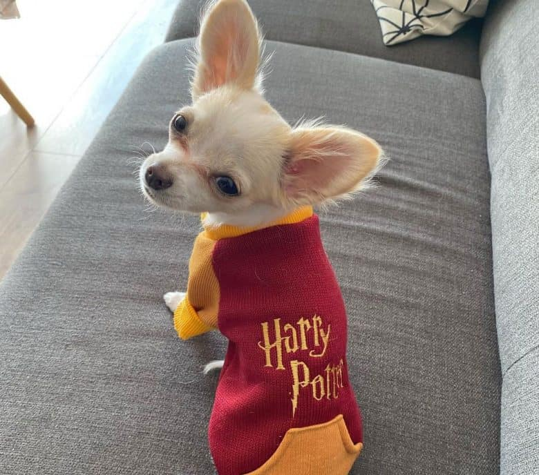 Chihuahua in a harry potter costume