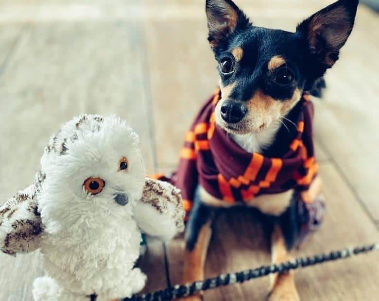 a Chihuahua with a scarf and owl stuff toy