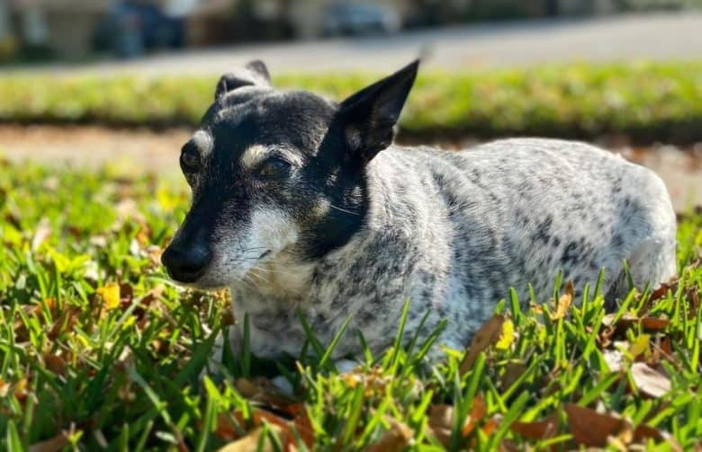 a Rat Terrier Blue Heeler laying comfortably in the grass