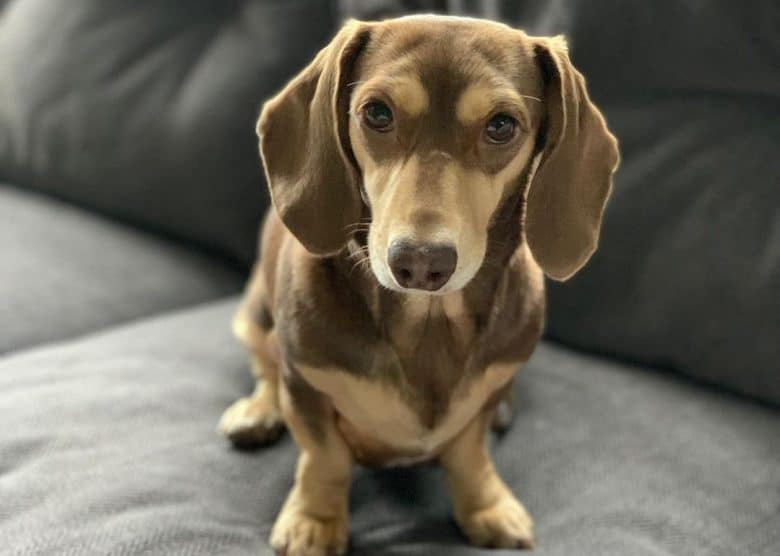 a Chocolate and Cream Dachshund standing on a soft couch