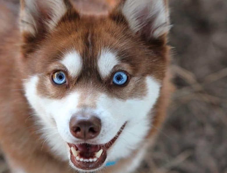 an American Klee Kai looking up all smiles