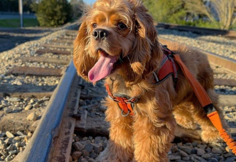 a tired Cocker Spaniel standing on a rail road.