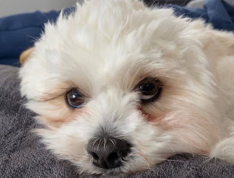 a snuggly Lhasa Apso laying doon
