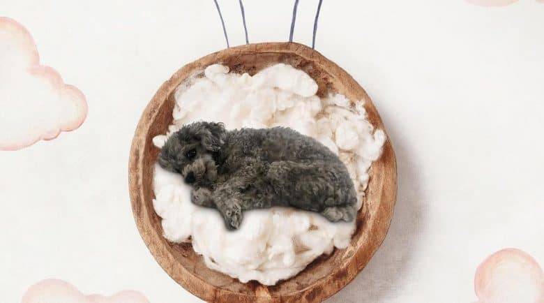 a Teacup Poodle laying on the clouds