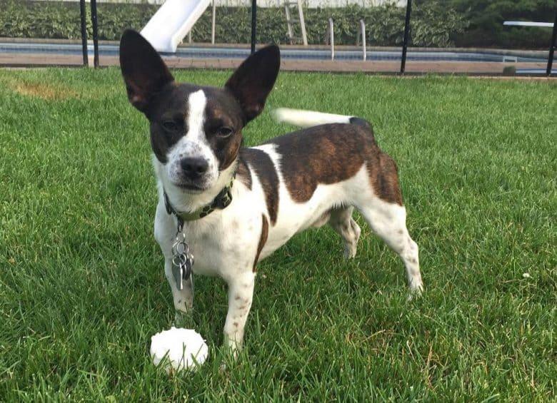 a Corgi Terrier standing on the grass