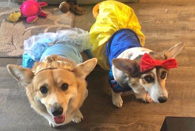 two pretty Corgis wearing princess costumes