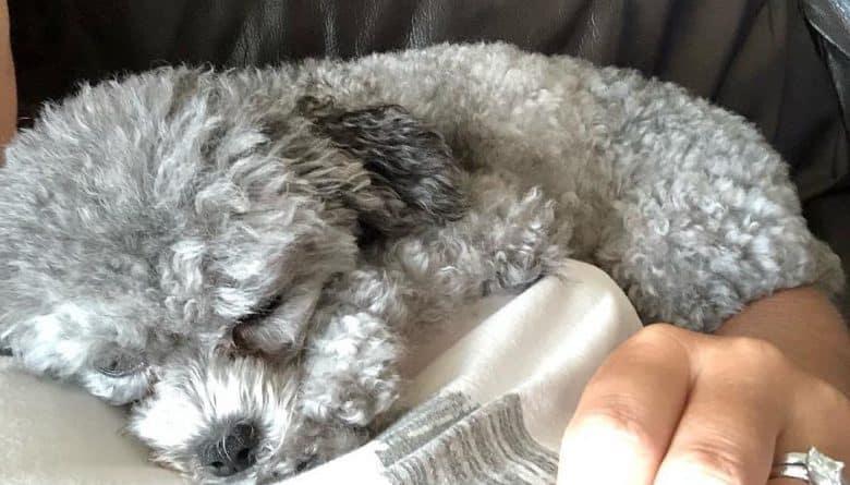 a gray Teacup Poodle sleeping