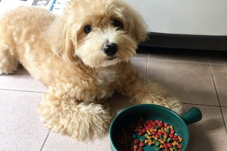 a Maltipoo laying down with green dog bowl with kibbles