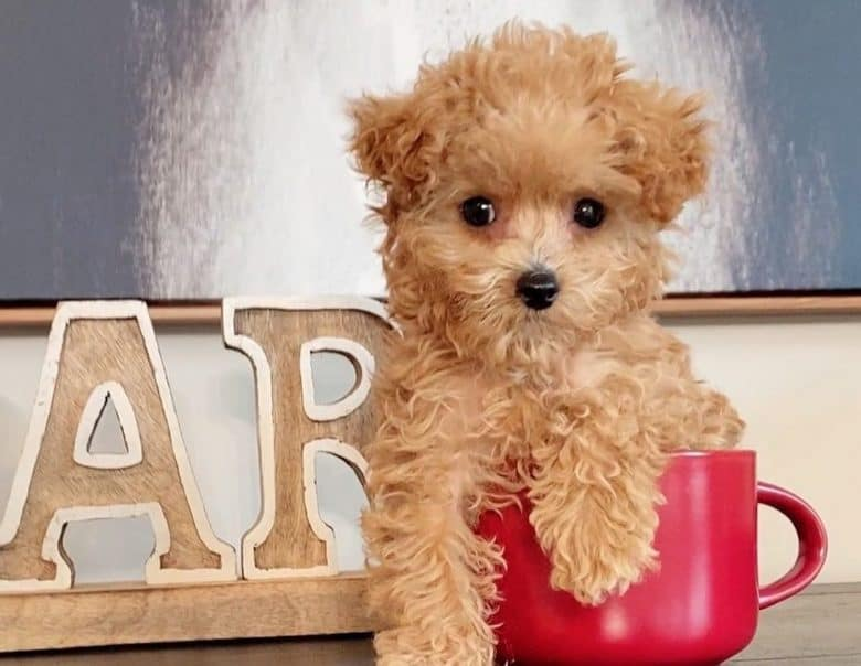 a Teacup Poodle sitting inside a pink cup