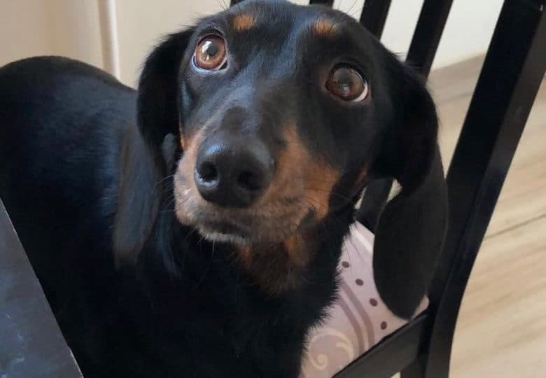 an adorable Dachshund standing on a chair, looking up