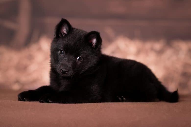 a Schipperke puppy laying down