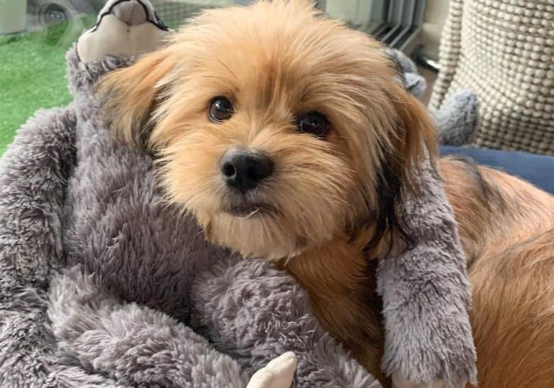 a brown Shih Apso cuddling his stuff animal