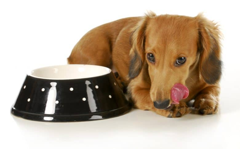 a senior Dachshund licking after eating