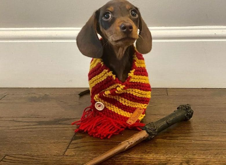 a Dachshund wearing a knitted Gryffindor scarf