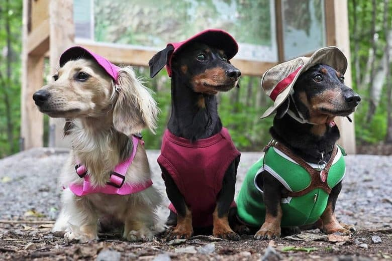 Three Dachshunds standing on the pavement wearing hats and dog harnesses