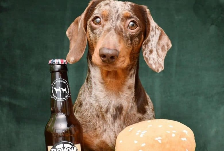 an adorable Dapple Dachshund with a toy hamburger and beer for dogs bottle