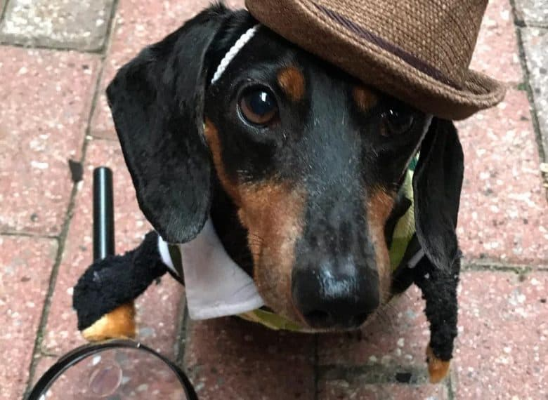 a Doxie with a detective hat and a magnifying glass