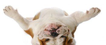 a wacky English Bulldog upside down