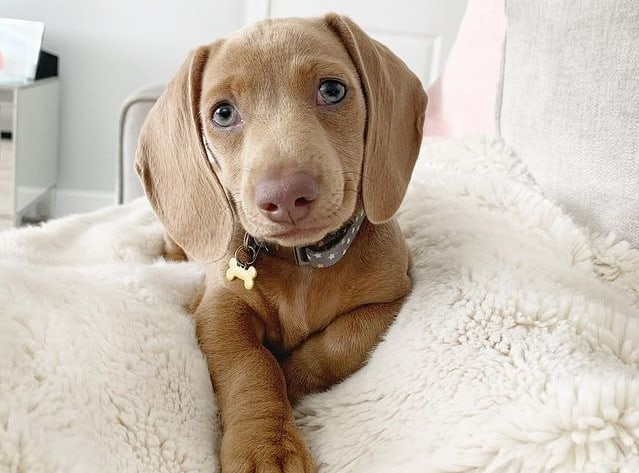 A Miniature Isabella Dachshund puppy laying on a soft blanket