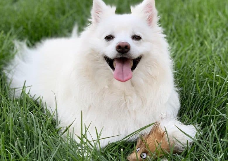 a white fuzzy American Eskimo laying on the grass