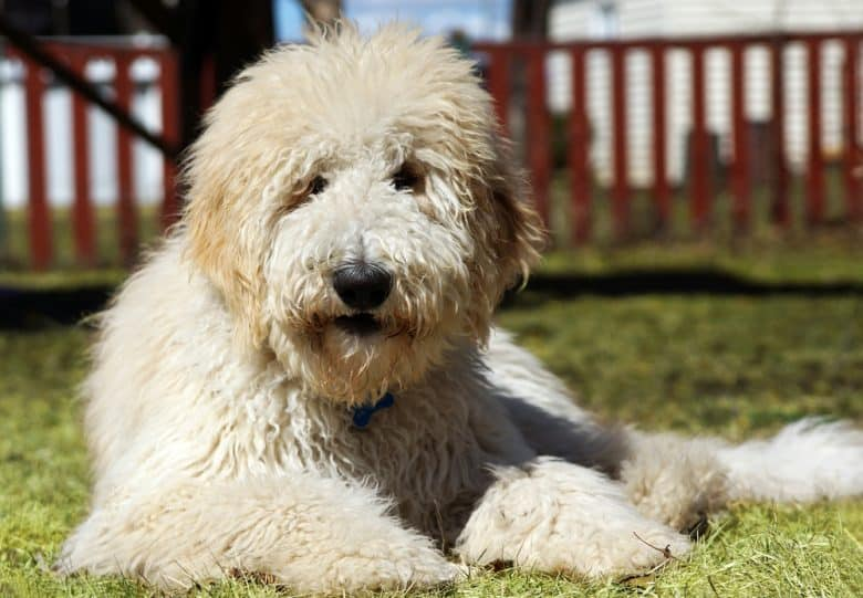 a Goldendoodle lounging on the grass