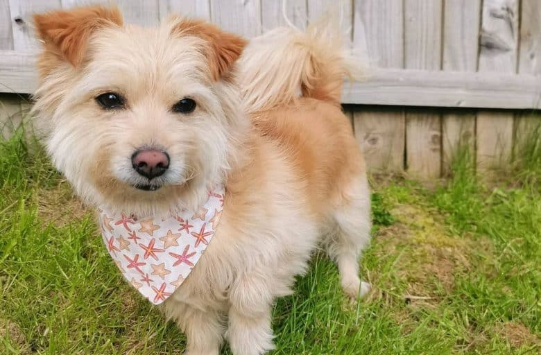 a Norfolk Terrier wearing a starfish scarf while standing in the yard